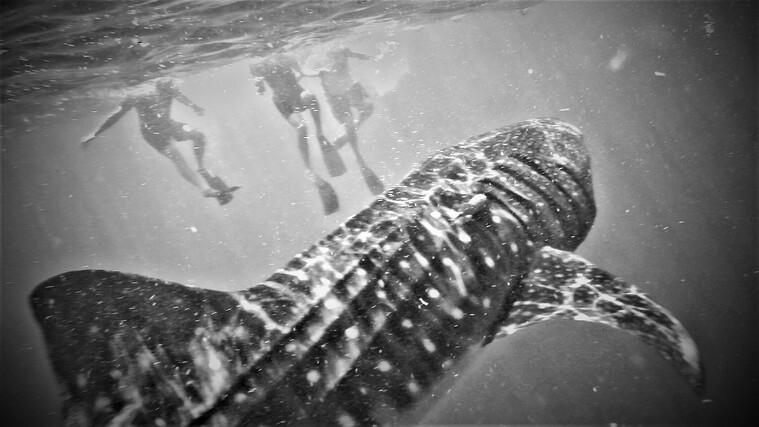 whale-sharks_t20_RlkmmN 2